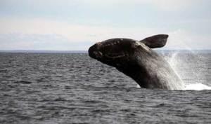 Las ballenas permanecen después varios meses en las costas patagónicas. Foto: Chubut.gov.ar