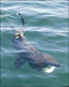 Tiburón peregrino (Cetorhinus maximus)
