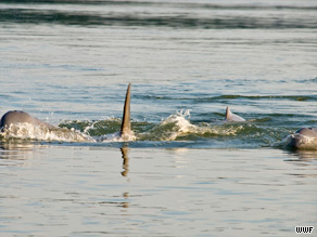 The dolphins lives in a stretch of the river between Cambodia and Laos. They number from 64 to 76.