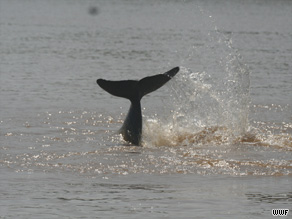 Analysis of dolphin deaths shows their immune systems are suffering due to contaminants.