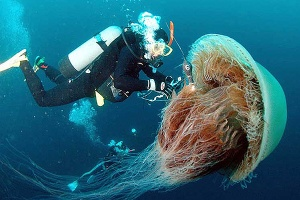 """Imagen de una medusa """"Cyanea Capillata"""". Foto: Archivo"""