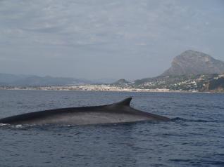 Avistan una ballena rorcual en aguas de Javea