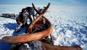 Colmillos mamut Siberia . EFE