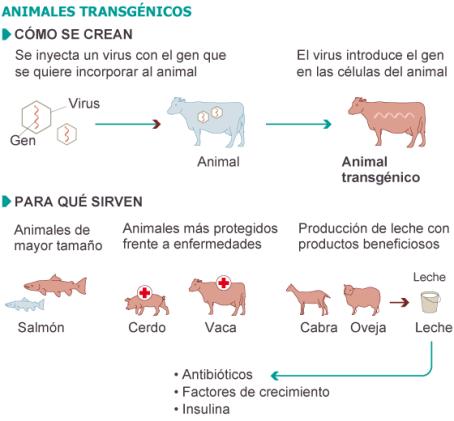 animales transgénicos. Fuente: FDA y elaboración propia. / EL PAÍS