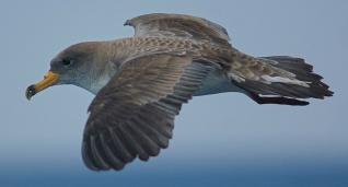 Pardela cenicienta en pleno vuelo.  seo-birdlife/juan bécares