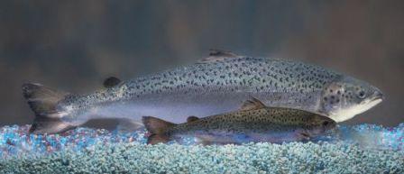 Un salmón transgénico, el más grande, junto a uno salvaje de su edad. / AFP
