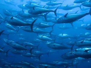 Un banco de atunes.