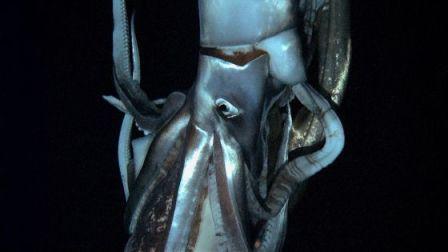 Fotograma del vídeo del calamar gigante grabado por CHK y Discovery. / AFP