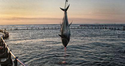 Captura de atún rojo en una de las jaulas de engorde en Tarragona. / JOSEP LLUIS SELLART