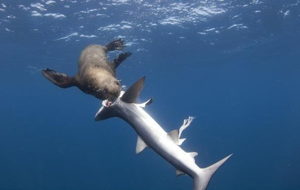 © Apex Shark Expeditions