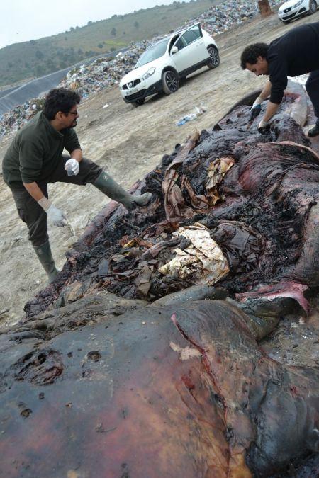 El vientre del cetáceo estaba lleno de plásticos.EBD-CSIC