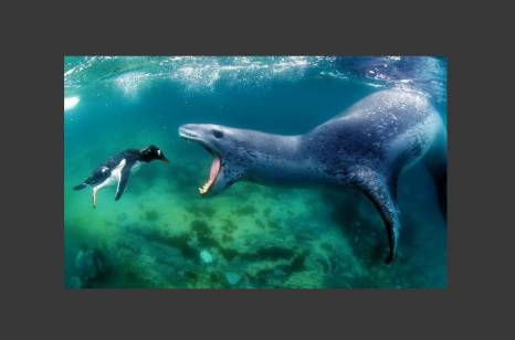 Foca leopardo a punto de comerse un pingüino