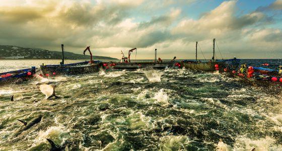 La 'levantá' es el instante más espectacular de esta pesca tradicional, los atunes emergen y comienzan a aletear acorralados. / Alfredo Cáliz