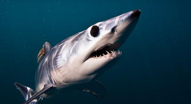 El tiburón mako | Foto: Agencias