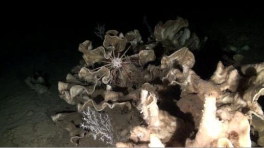 Campo de esponjas piedra y estrella descubierto en el Golfo de Valencia Oceana