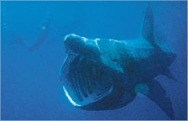 Un tiburón peregrino pasa ante dos buceadores. Chris Gotschalk/wikipedia