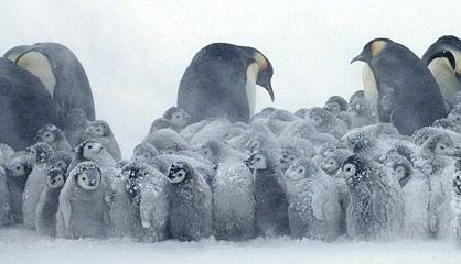 Pingüinos emperador en la Antártida. / cordon press