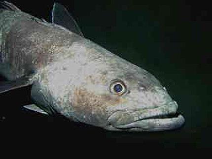Bacalao ártico (Arctogadus glacialis). © Wikimedia.org / Pcziko