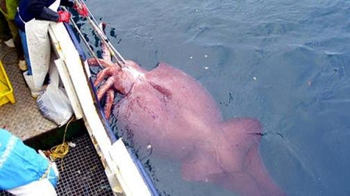 Calamar gigante de la Antártida. © wikipedia.org