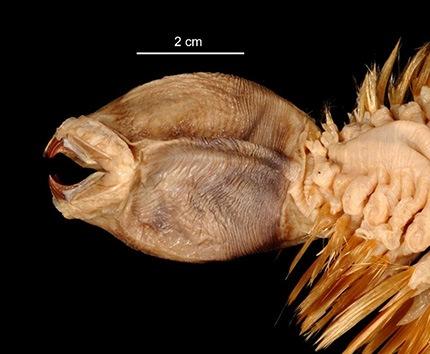 Gusano 'Eulagisca gigantea'. © invertebrates.si.edu