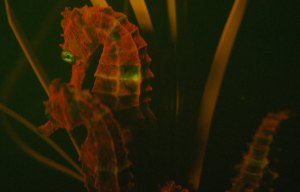 Uno de los animales marinos más fascinantes es el caballito de mar. Ahora se sabe que varias de sus subespecies son fluorescentes y emiten luz entre roja y anaranjada.
