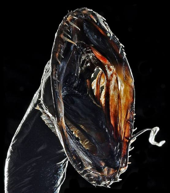 Pez Dragón Negro