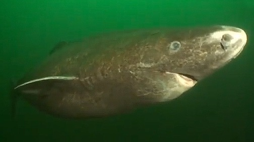 Tiburón de Groenlandia (Somniosus microcephalus). © youtube.com / BlueWorldTV