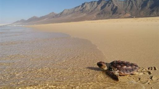 Tortuga-Fuerteventura-Cofete-Playa_EDIIMA20140117_0744_13