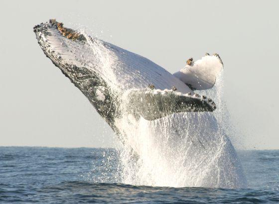 Una ballena jorobada salta en la costa sur de Sudáfrica. / REUTERS