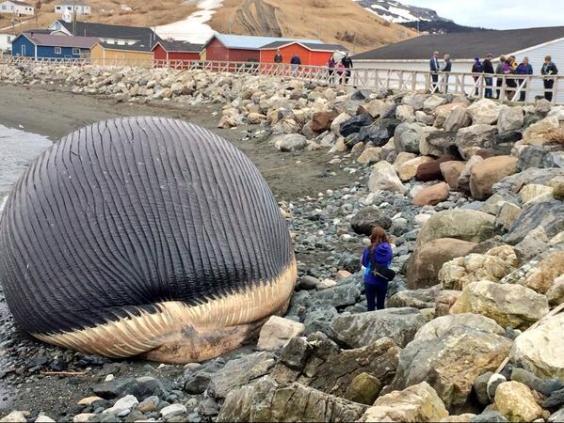 Carcasa de ballena azul varada en un pueblo de Canadá @DonBradshawNTV