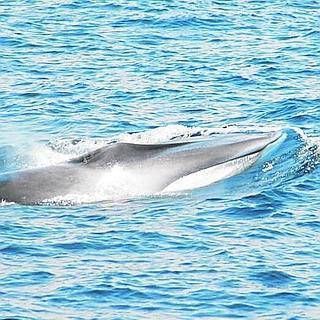 una ballena rorcual común. / LP Y TONI LOSAS