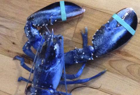 Blue lobster capturado en Maine.