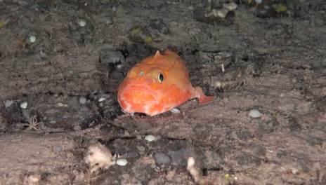Los vivos colores del mero bostezador le ayudan a camuflarse en la profundidad del mar. OCEANA