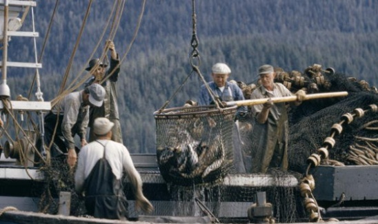 Pescadores introducen en su barco los salmones recién capturados en Ketchikan, Alaska / Getty