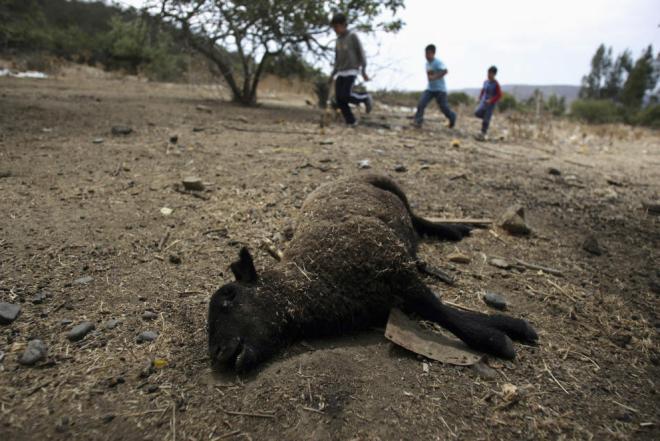 Una oveja muerta en plena sequía en San Pedro, a 130 kilómetros de Santiago de Chile, en 2008 (Reuters)