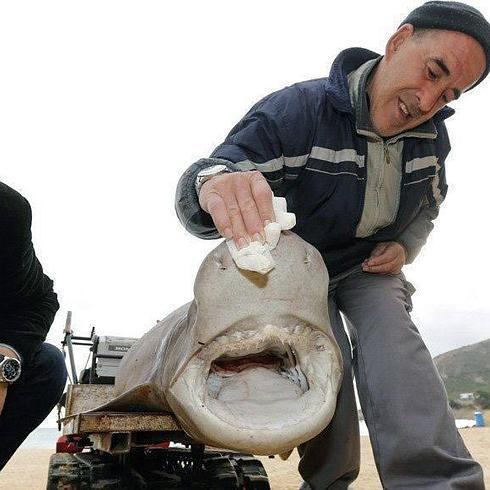 Tiburón recogido en la playa de L'Alfàs. / efe
