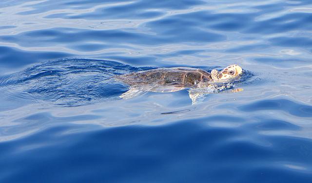 Tortuga boba en el mar (Imagen: Oceanogràphic)
