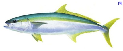 yellowtail_drawing