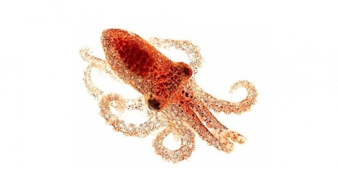 Ejemplar de 'Octopus bimaculoides' - Foto UCSB