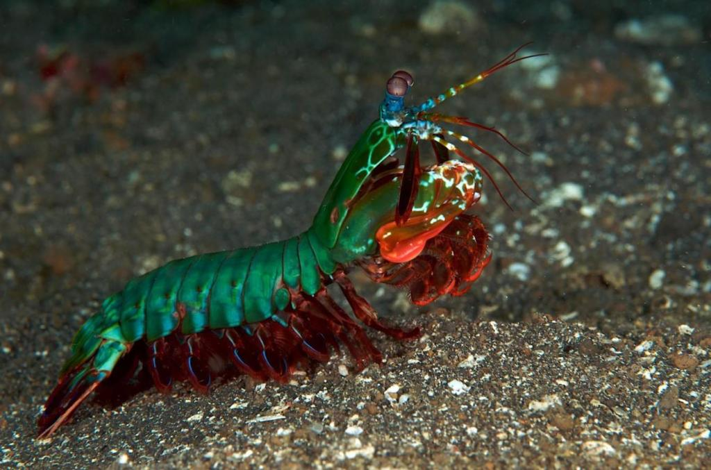 Gamba mantis ('Gonodactylus smithii')