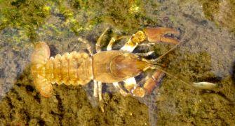 cangrejo rio español