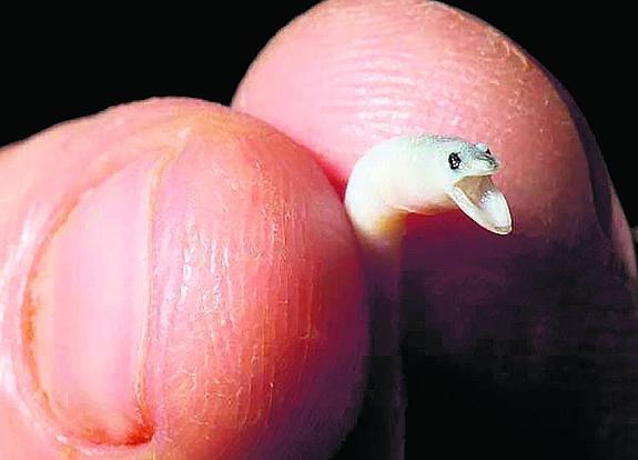 las angulas son pececitos minúsculos, pesan un gramo de media y miden unos ocho centímetros. :: r.c.